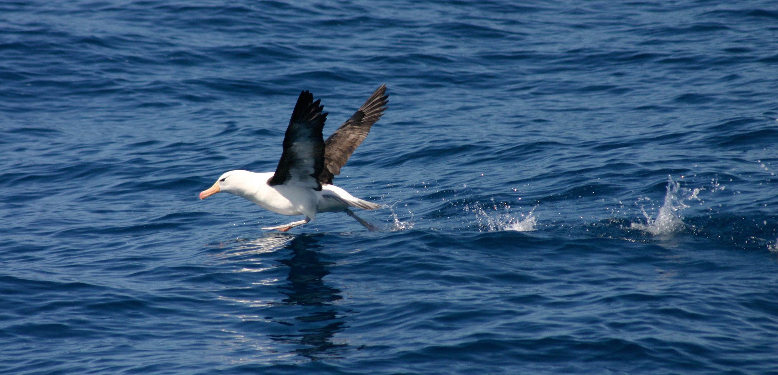 Black-browed Albatross at sea between South Georgia & the Falklands