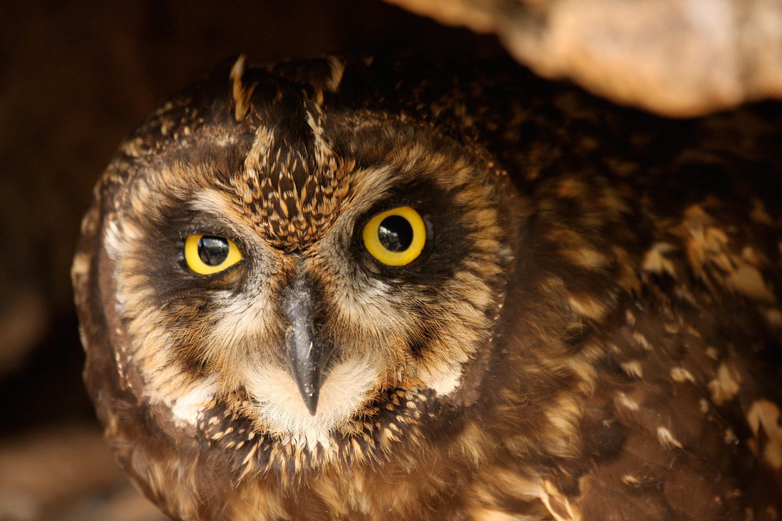 short-eared owl, Santa Fe Island