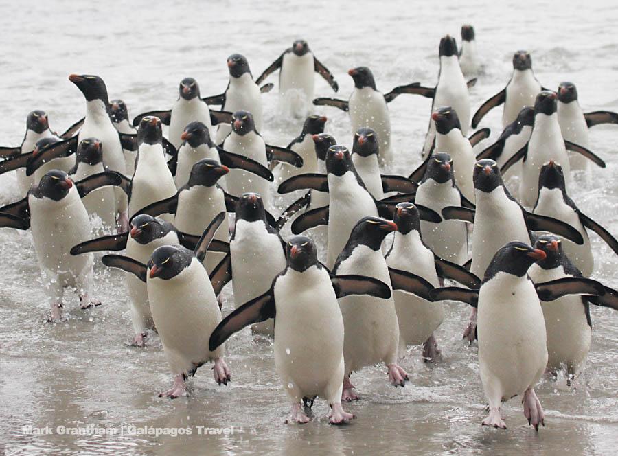 Rockhopper Penguins coming ashore