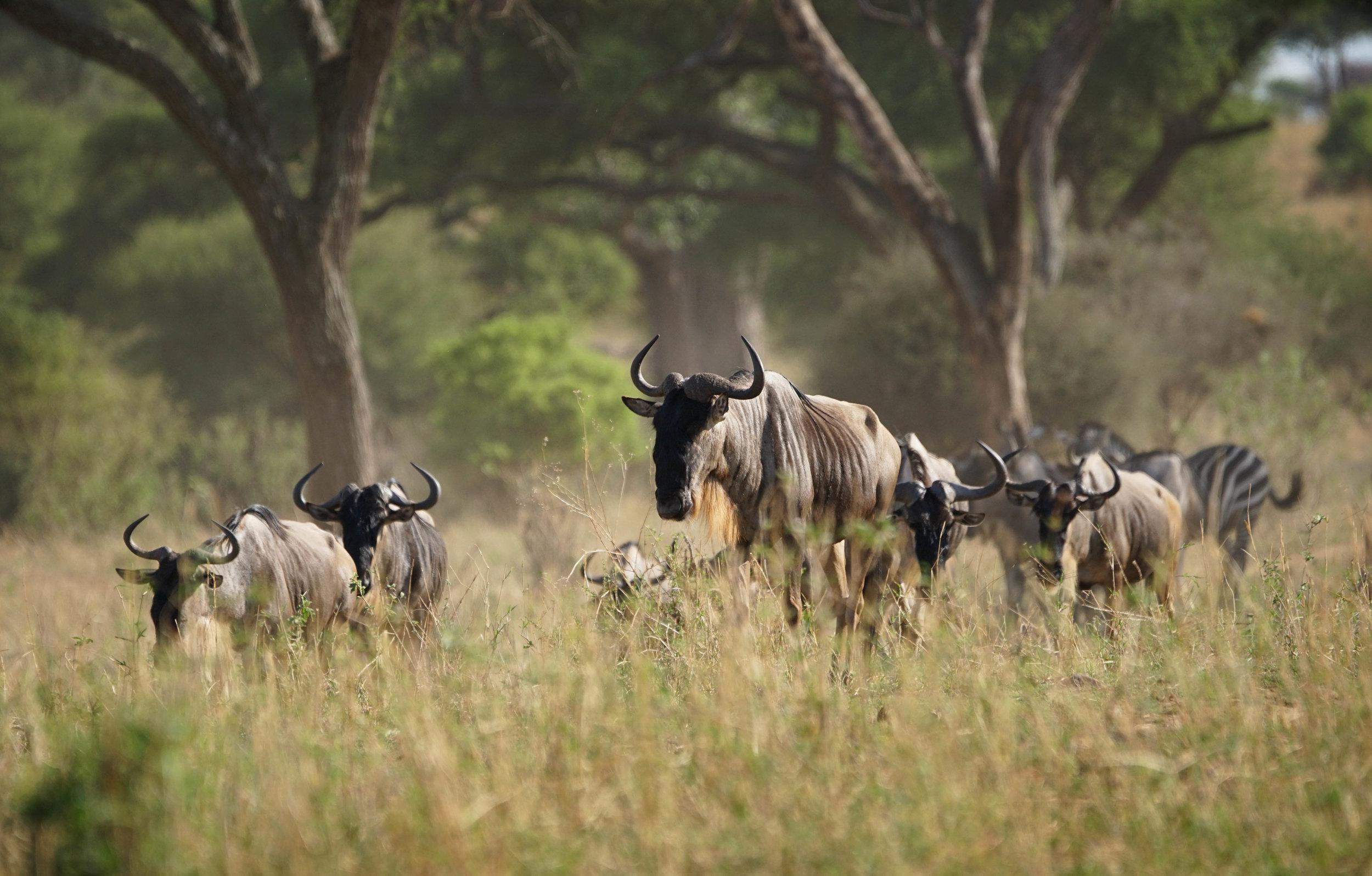 Wildebeest & Zebras are often found together
