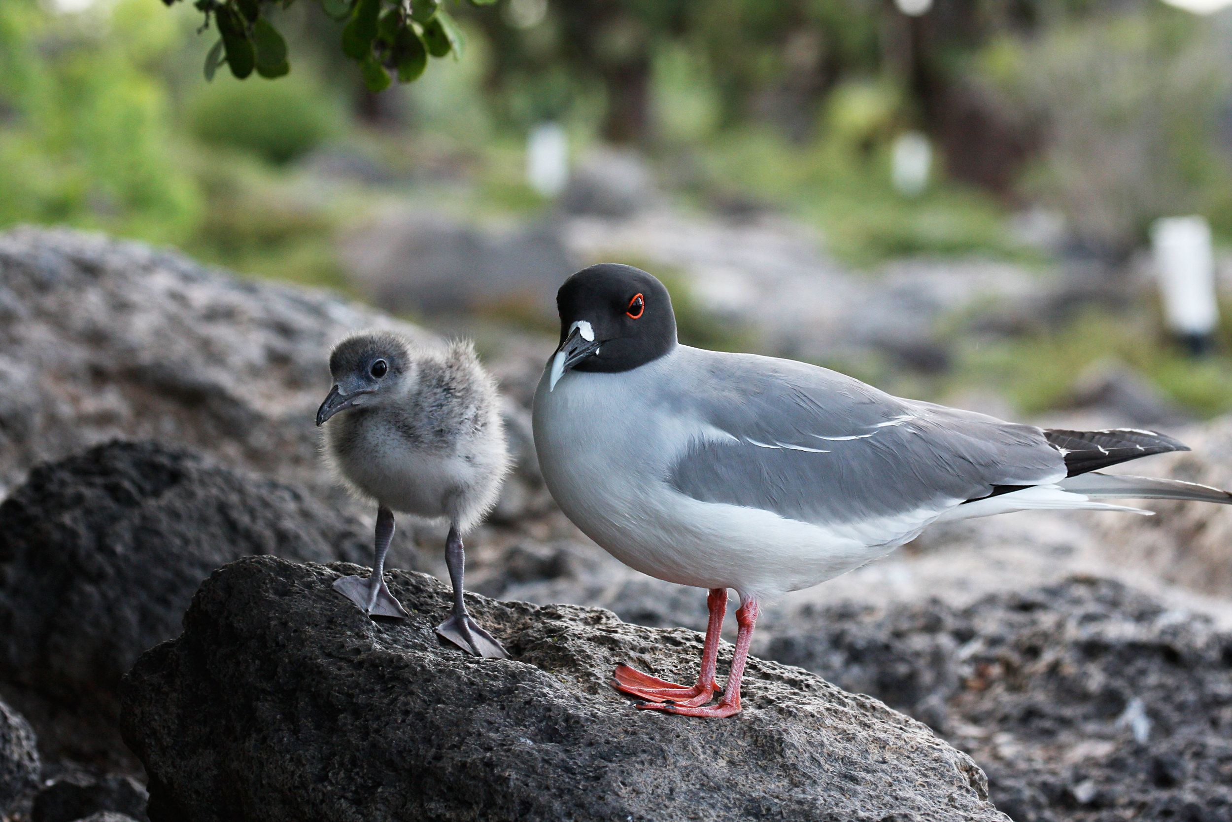 Swallow-tailed gull (endemic)