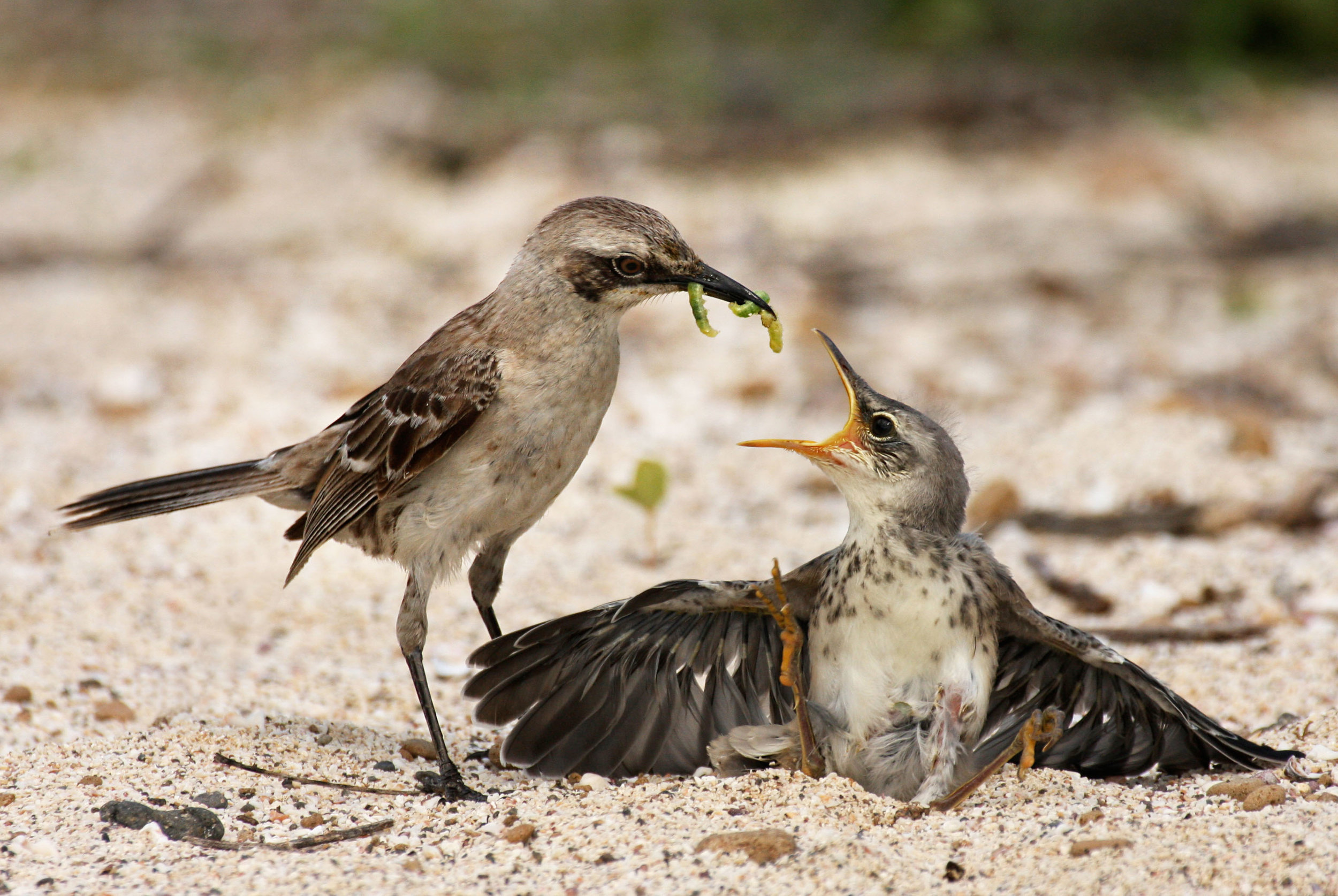 Chatham mockingbird and chick (endemic)