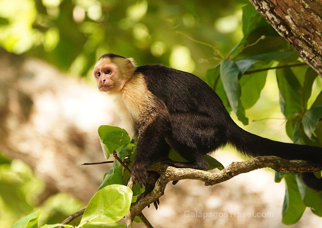 Capuchin Monkey, Manuel Antonio National Park, Costa Rica