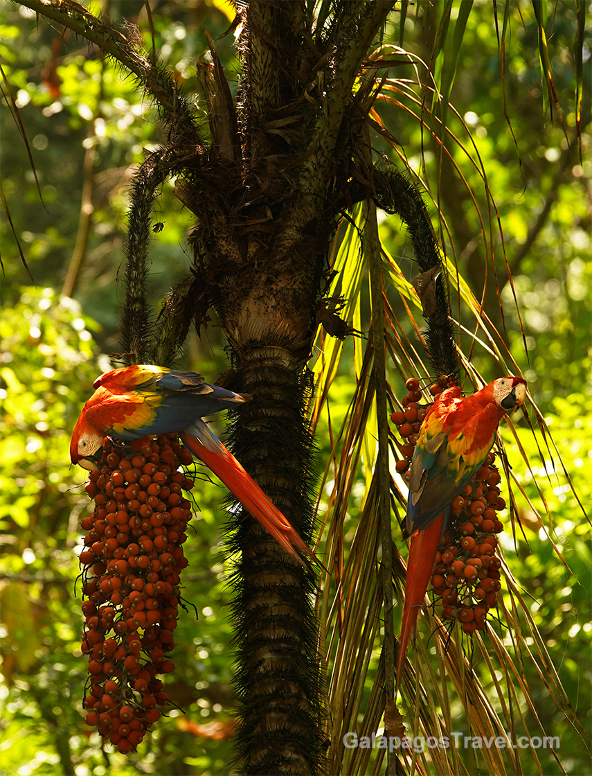 Scarlet Macaws, Corcovado National Park
