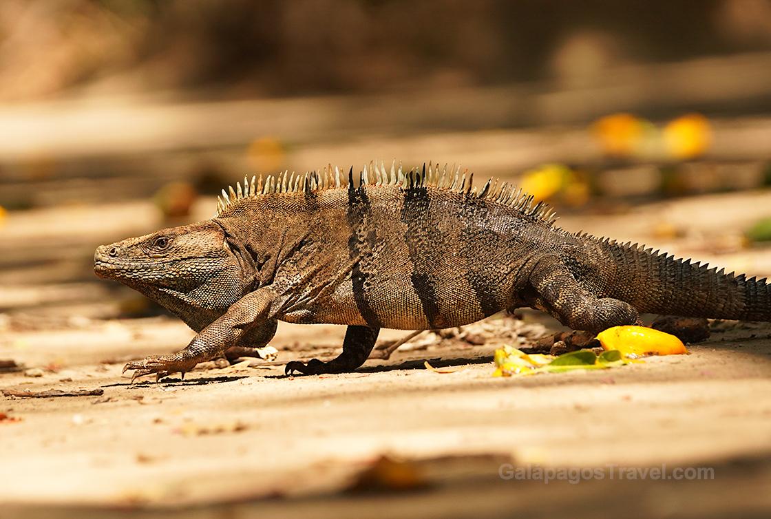 Black Spiny-tailed Iguana, Curú National Wildlife Refuge