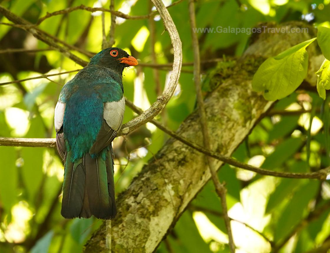 Staty-tailed Trogon, Manuel Antonio National Park, Costa Rica