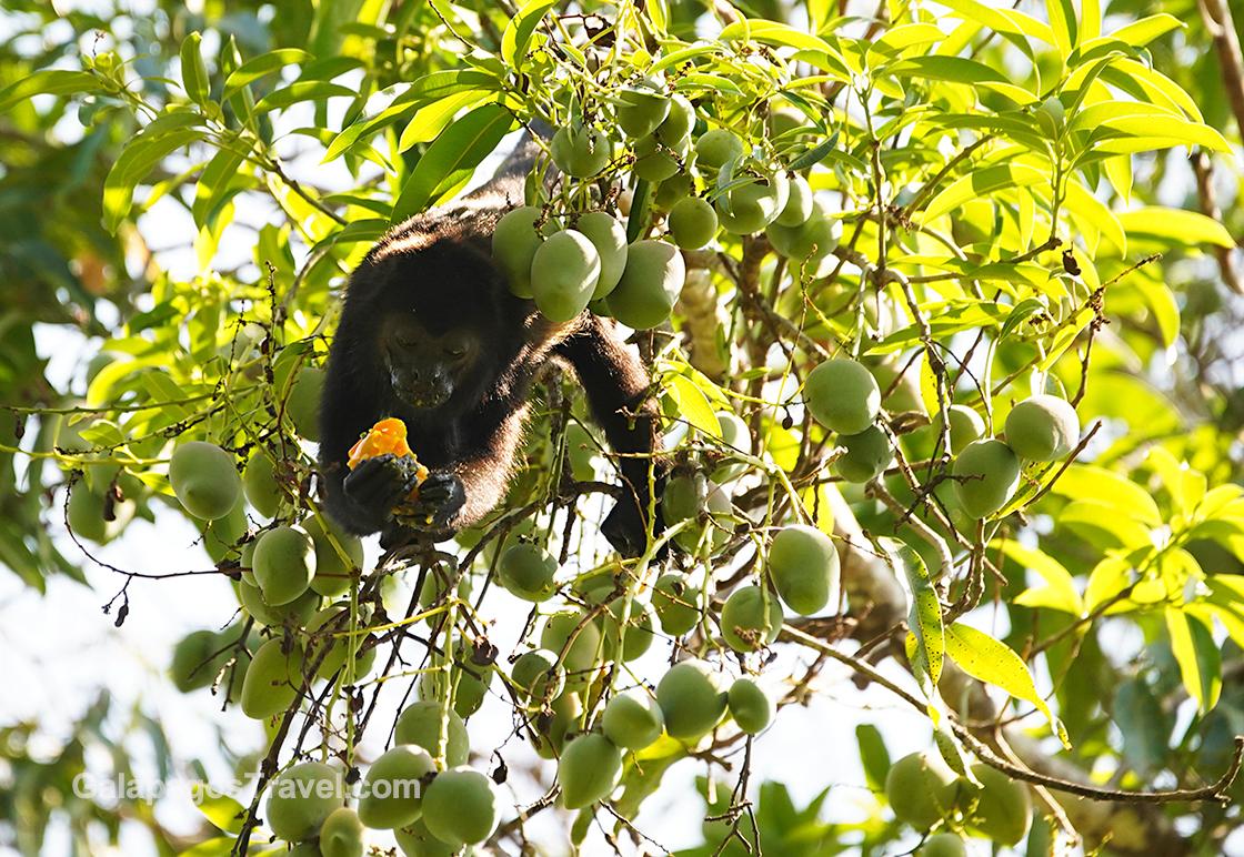 Howler Monkey dining on mangos