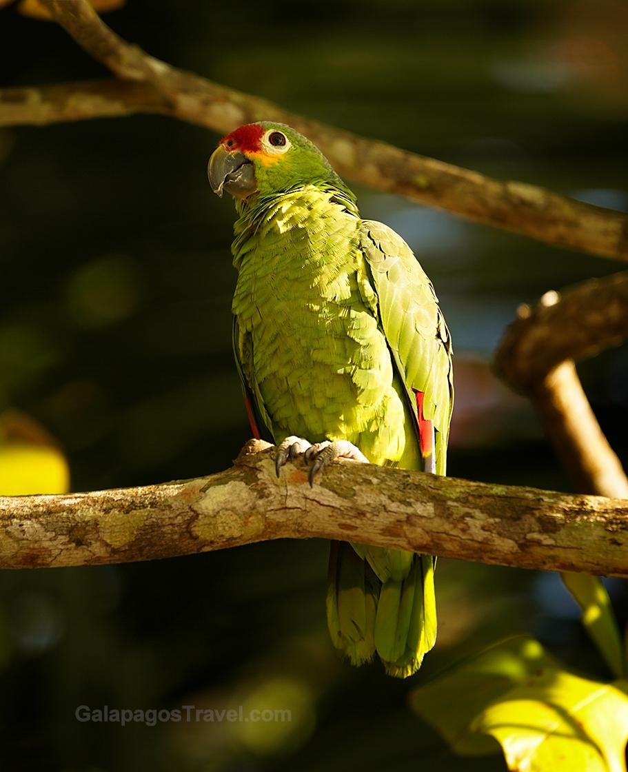 Red-lored Parrot, Curú National Wildlife Refuge