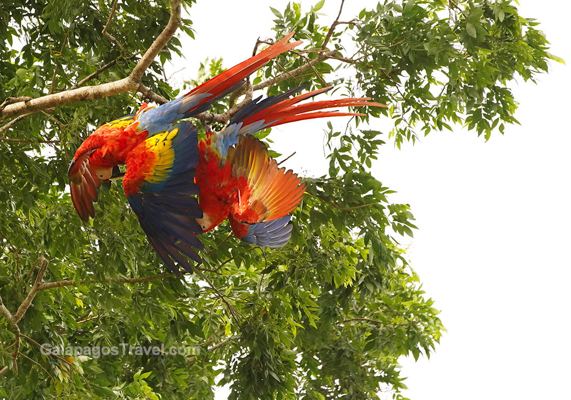 Scarlet Macaws mate hanging upside-down in the treetops!