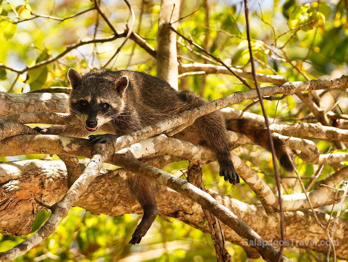 innocent looking, the Raccoons at Manuel Antonio National Park are expert snack thieves if you set your bag down unawares
