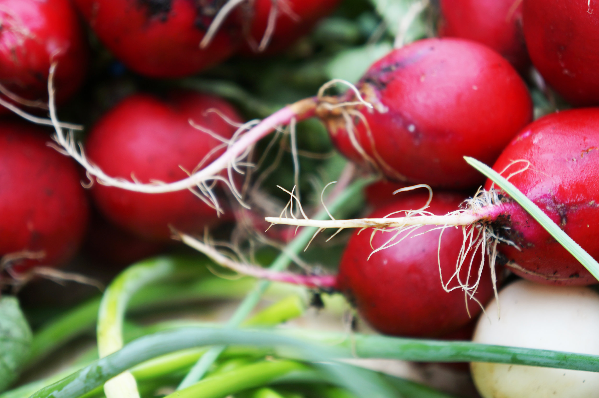 radishes - website .jpg