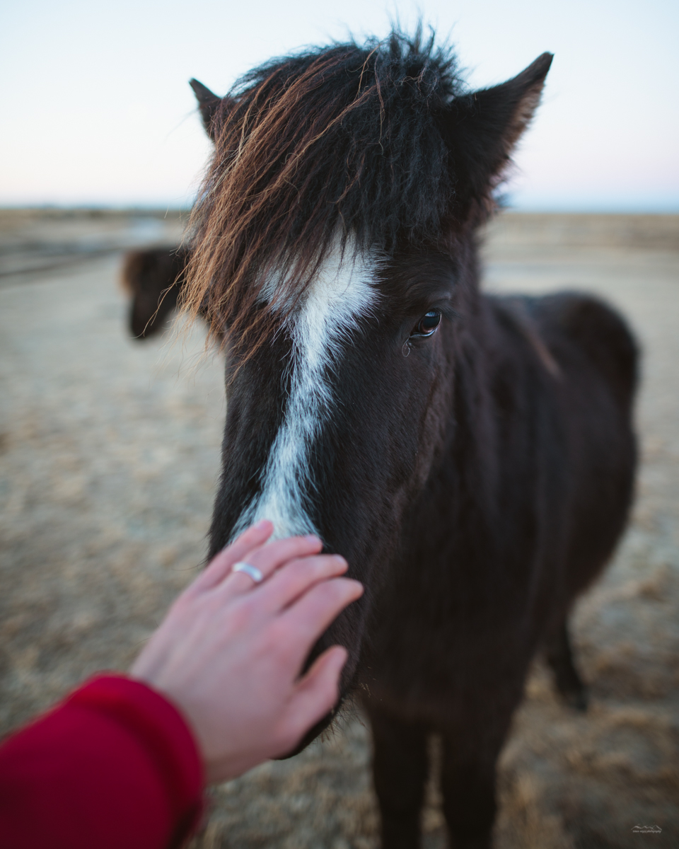 A beautiful Icelandic pony
