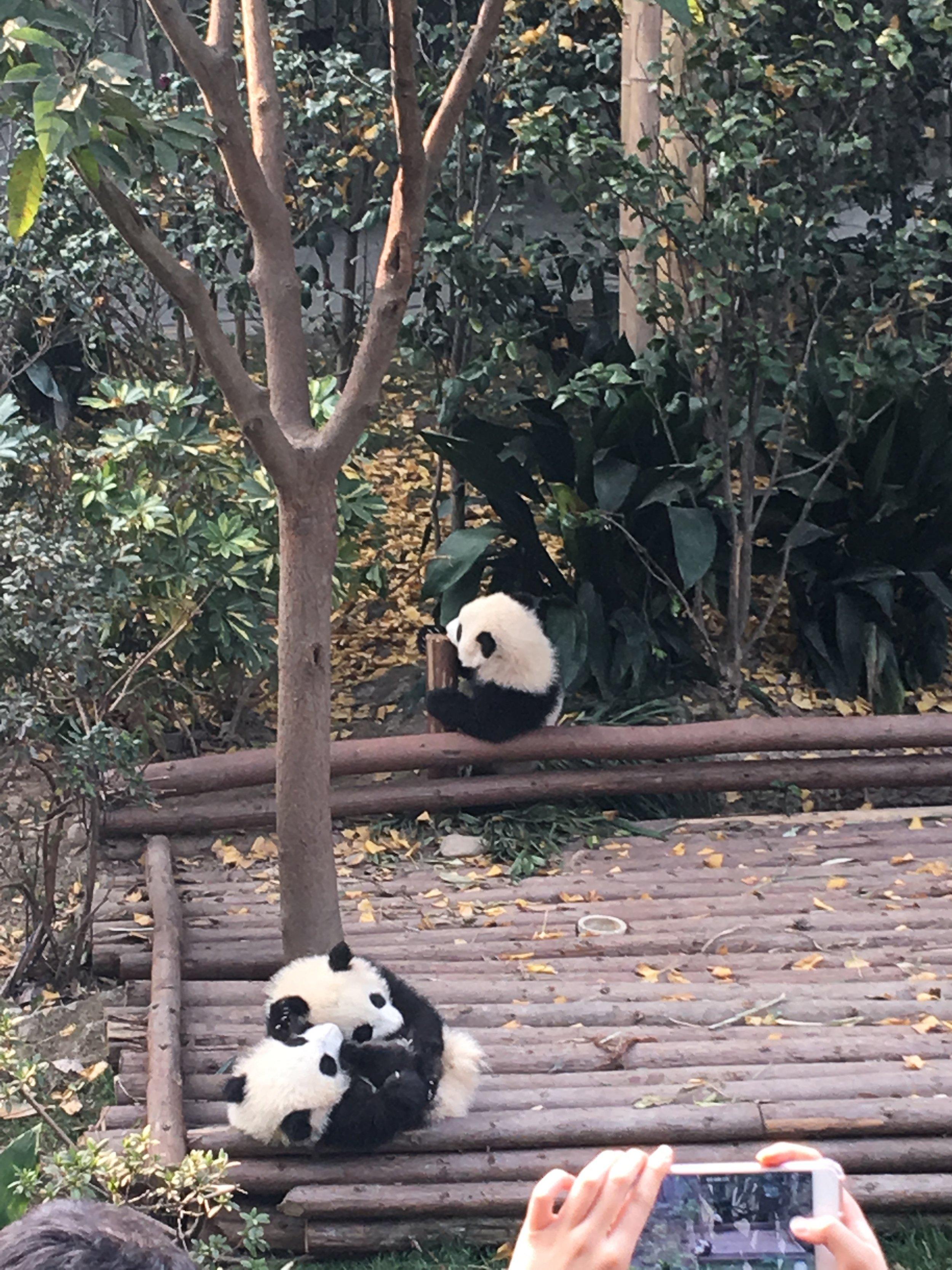 Chengdu Panda Research Center Baby Pandas
