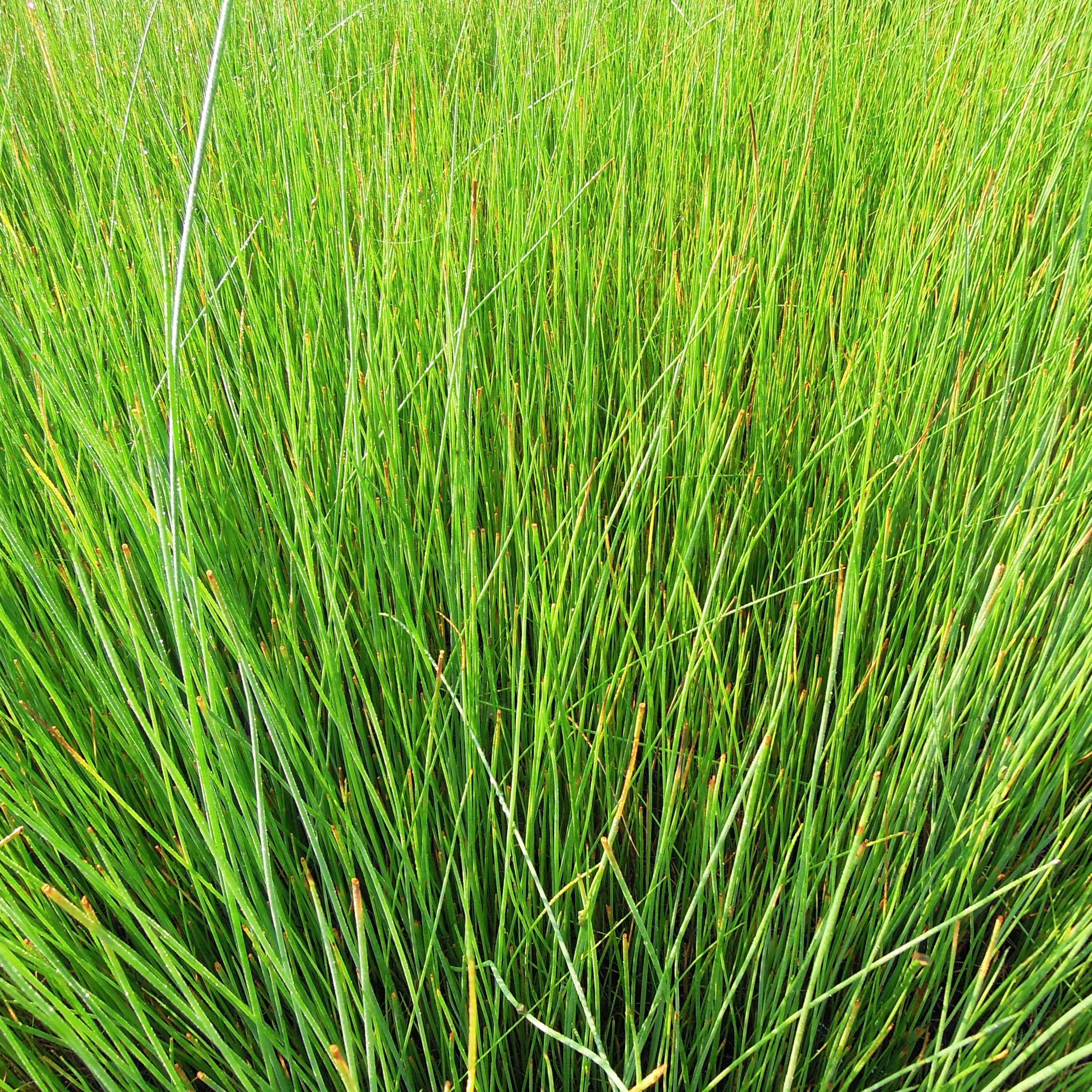Juncus effusus, a.k.a. Soft or Common Rush - Juncus effusus is the species most commonly called for in stormwater treatment systems. Designers often suggest planting it in water up to 6