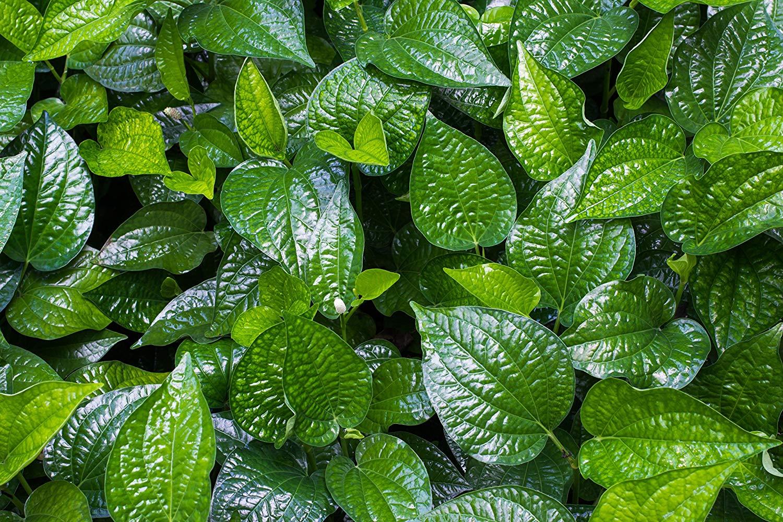 Image of betel leaves, image courtesy  Amazon