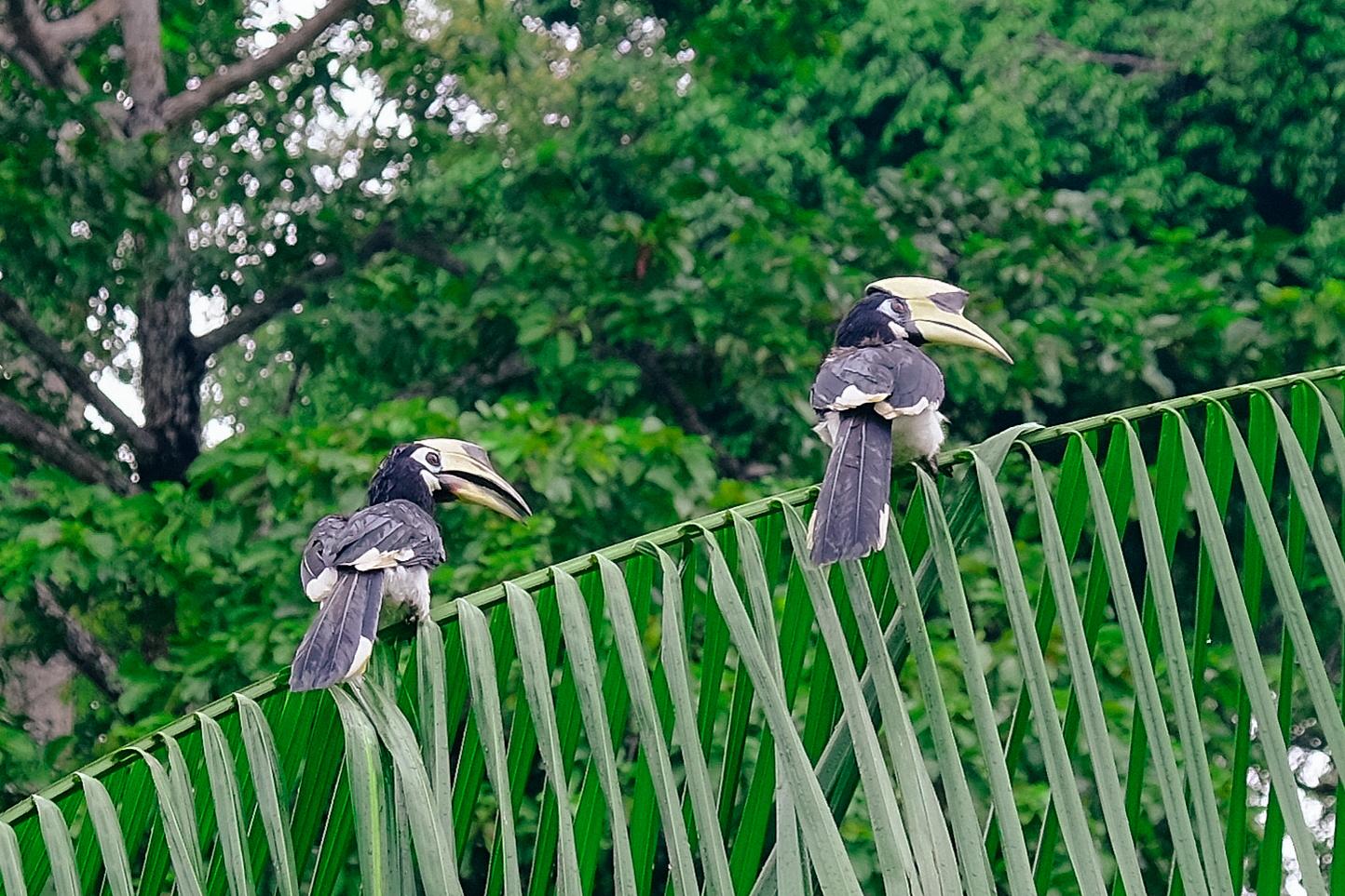 Hornbills.jpg
