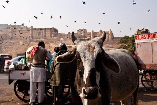 Rajasthan-cow1.jpg