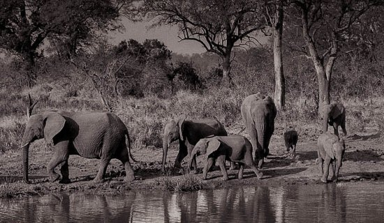 Elephantsa.jpg