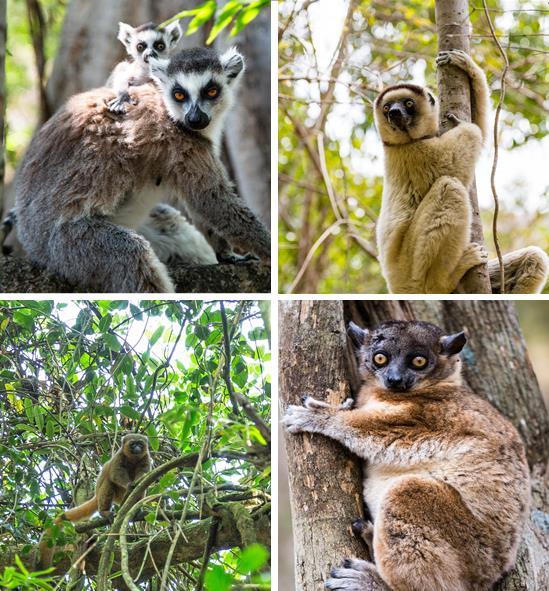 4-lemurs.jpg