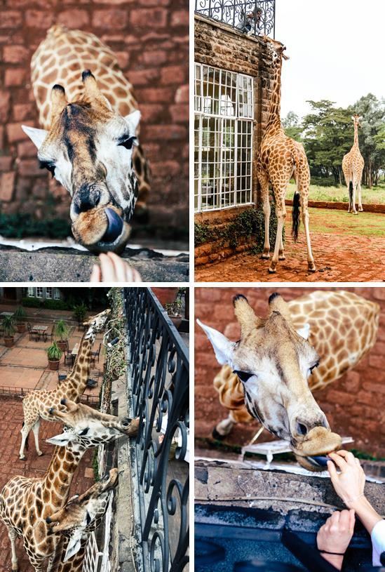 Giraffe-4-feeding2.jpg