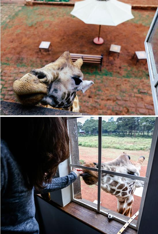 Giraffe-at-window.jpg