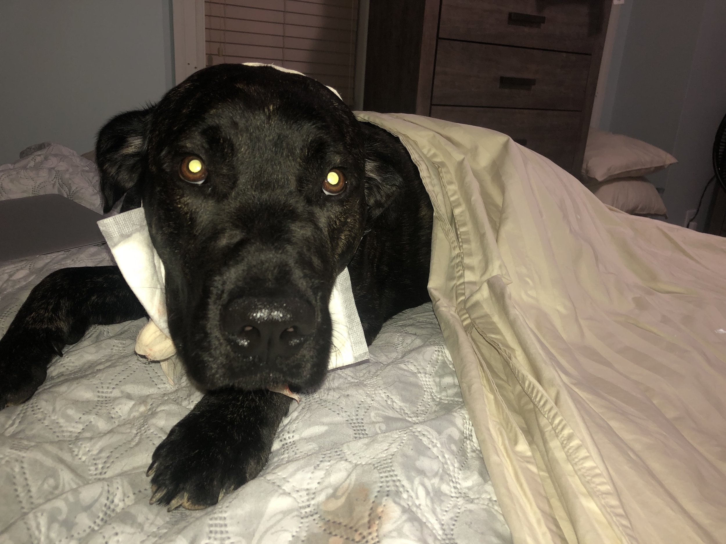 Kobe after we cleaned up the blood and tried to bandage him.