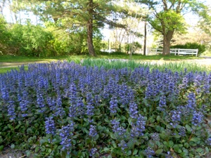 This large swath of Ajuga reptans is a low maintenance ground cover that replaced a failing lawn inside a circular driveway.