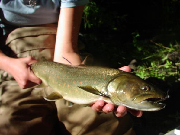 Bull trout (R. Al-Chokhachy)