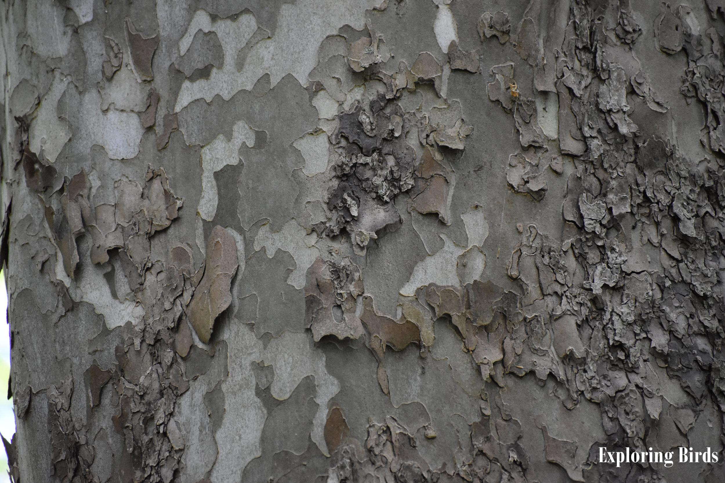 American Sycamore bark identification