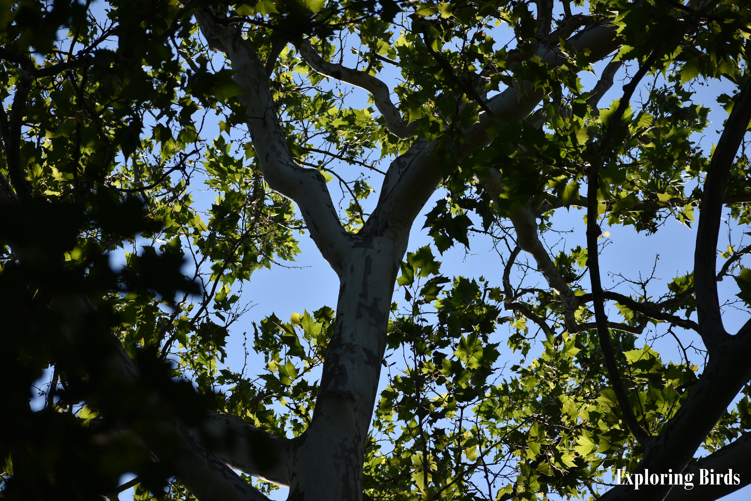 American Sycamore is often used for nesting by Baltimore Oriole