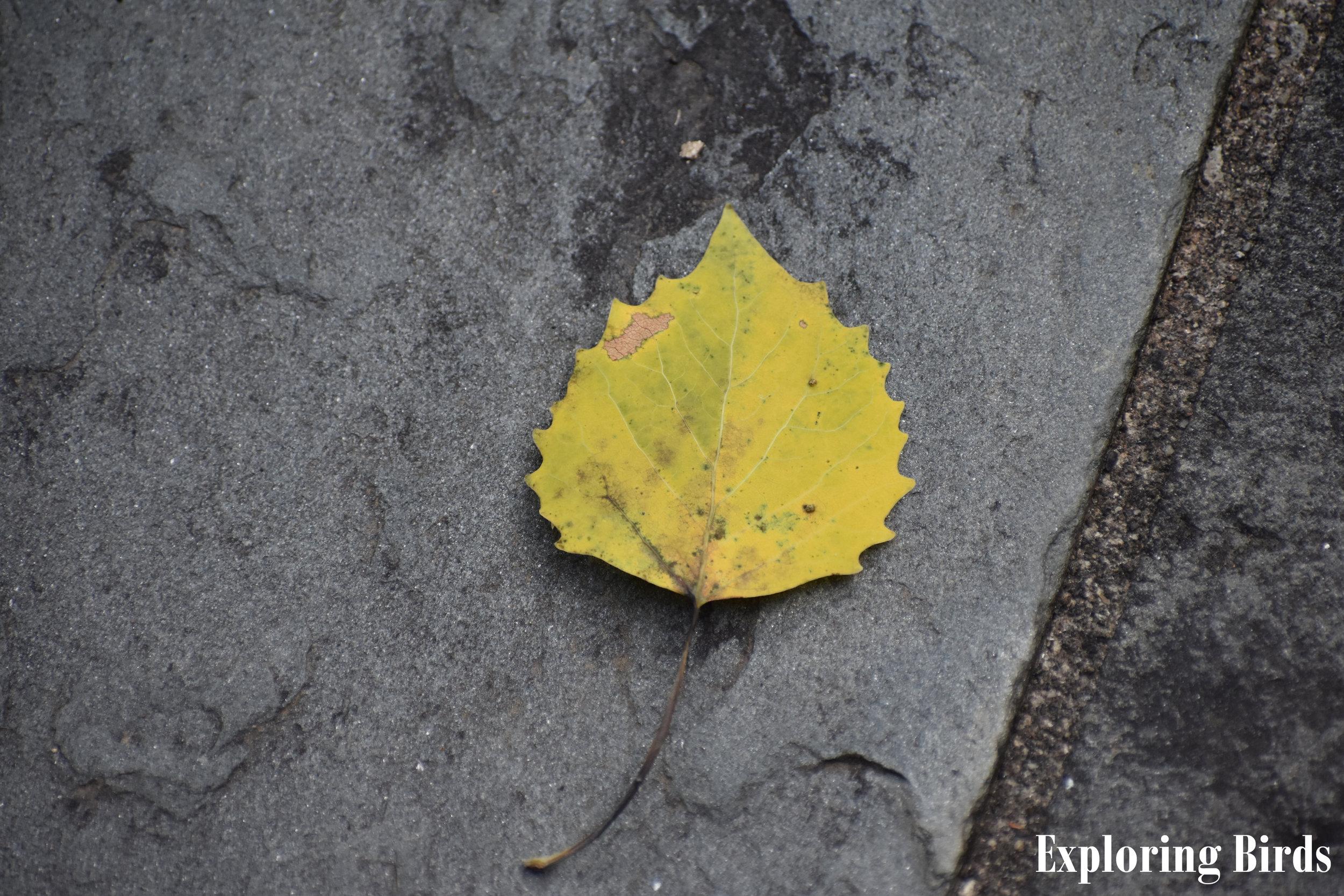Bigtooth Aspen leaf identification
