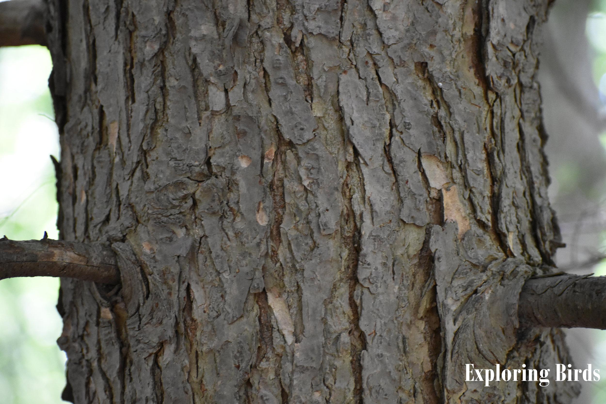 Eastern Hemlock bark identification