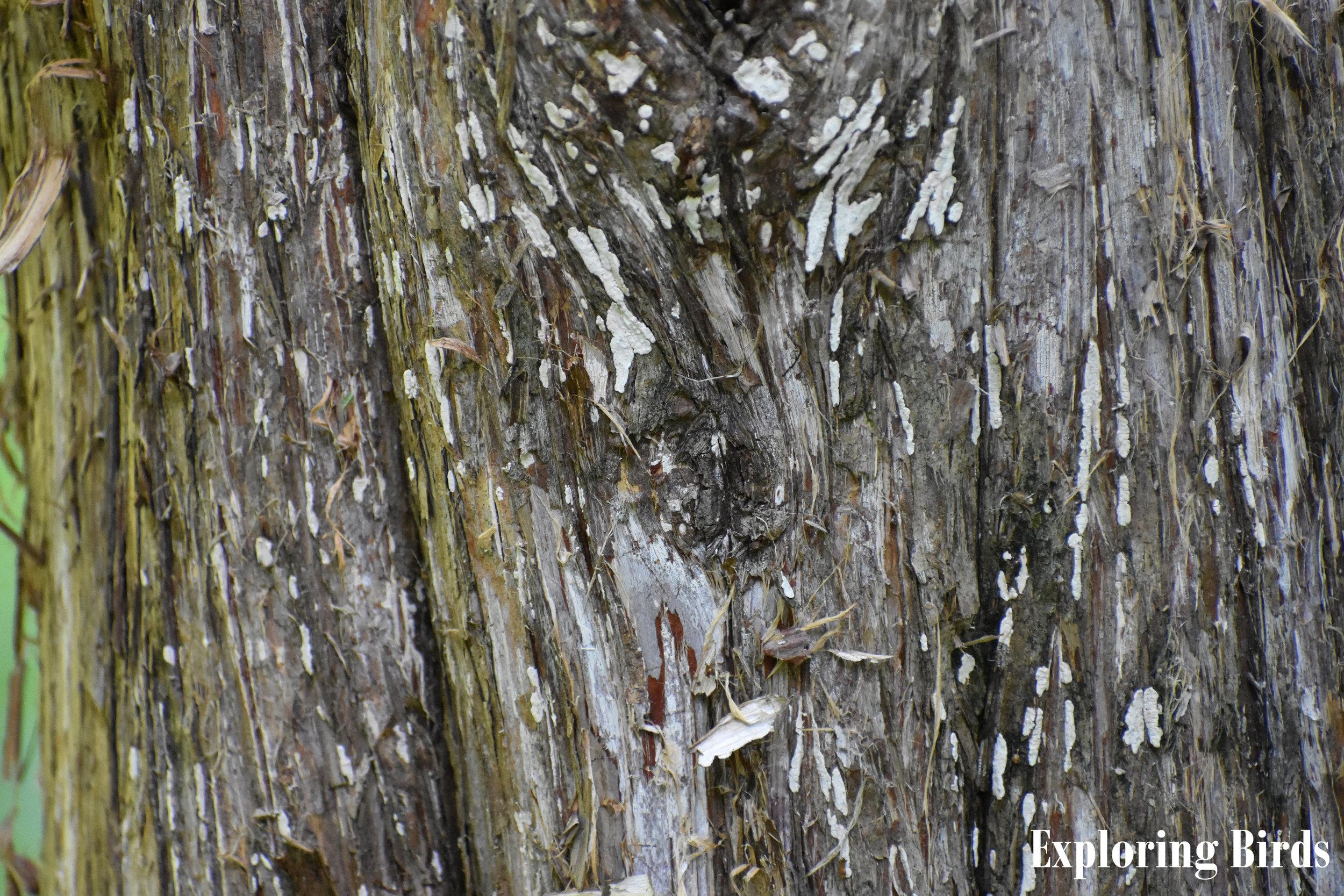 Eastern Redcedar bark