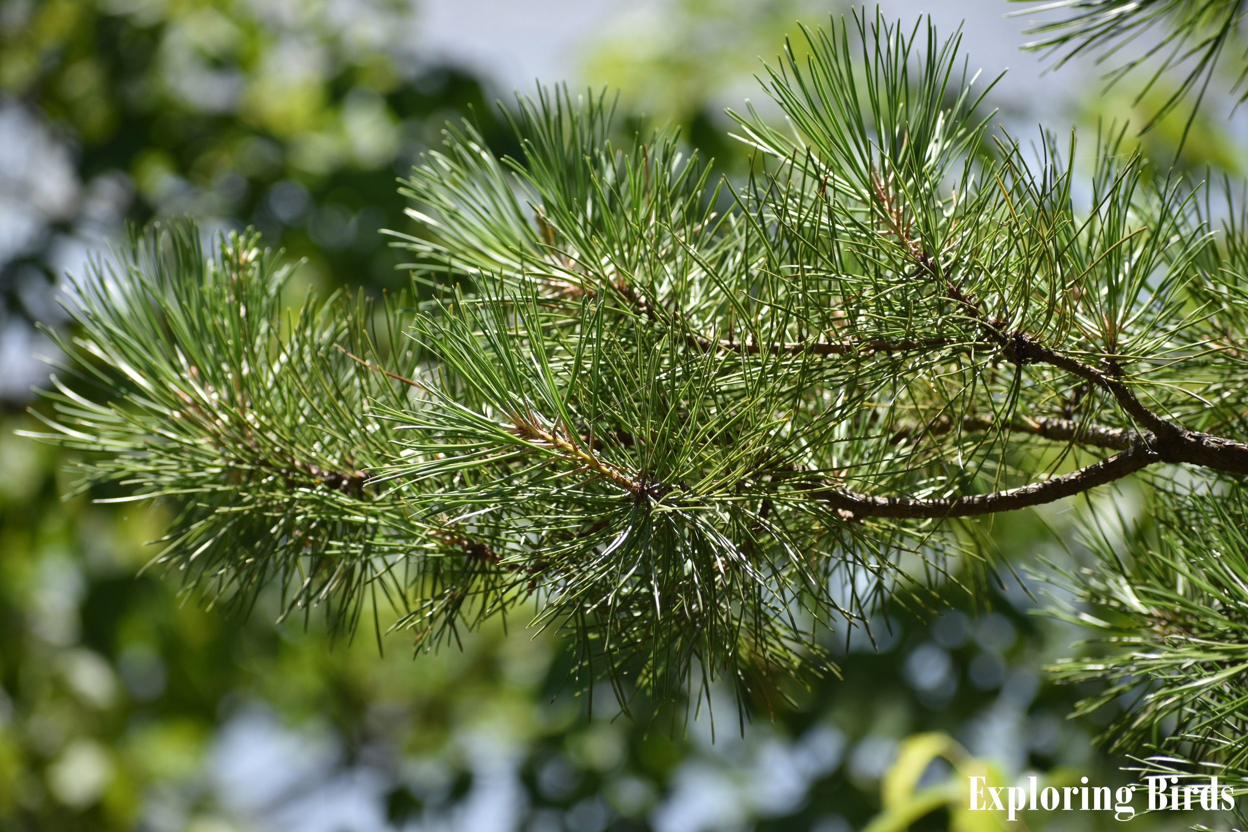 Eastern White Pine is a tree that attracts birds