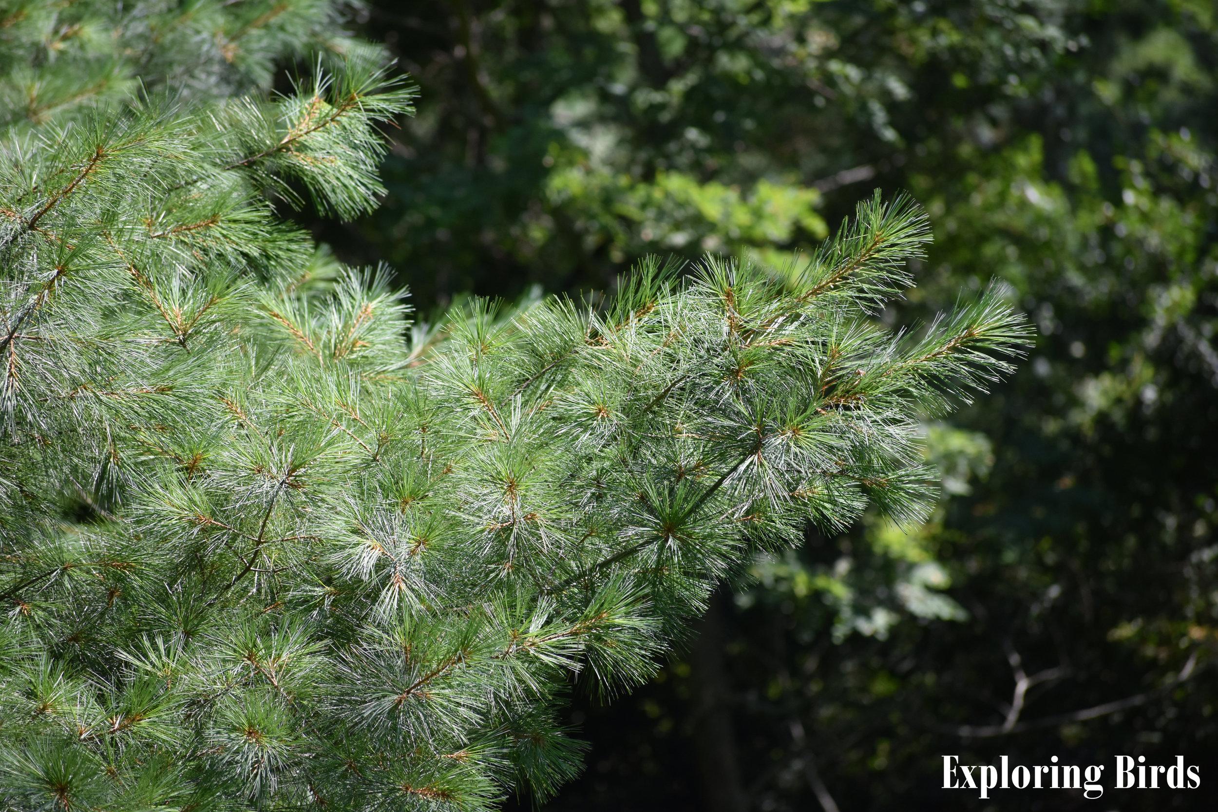 Eastern White Pine branch