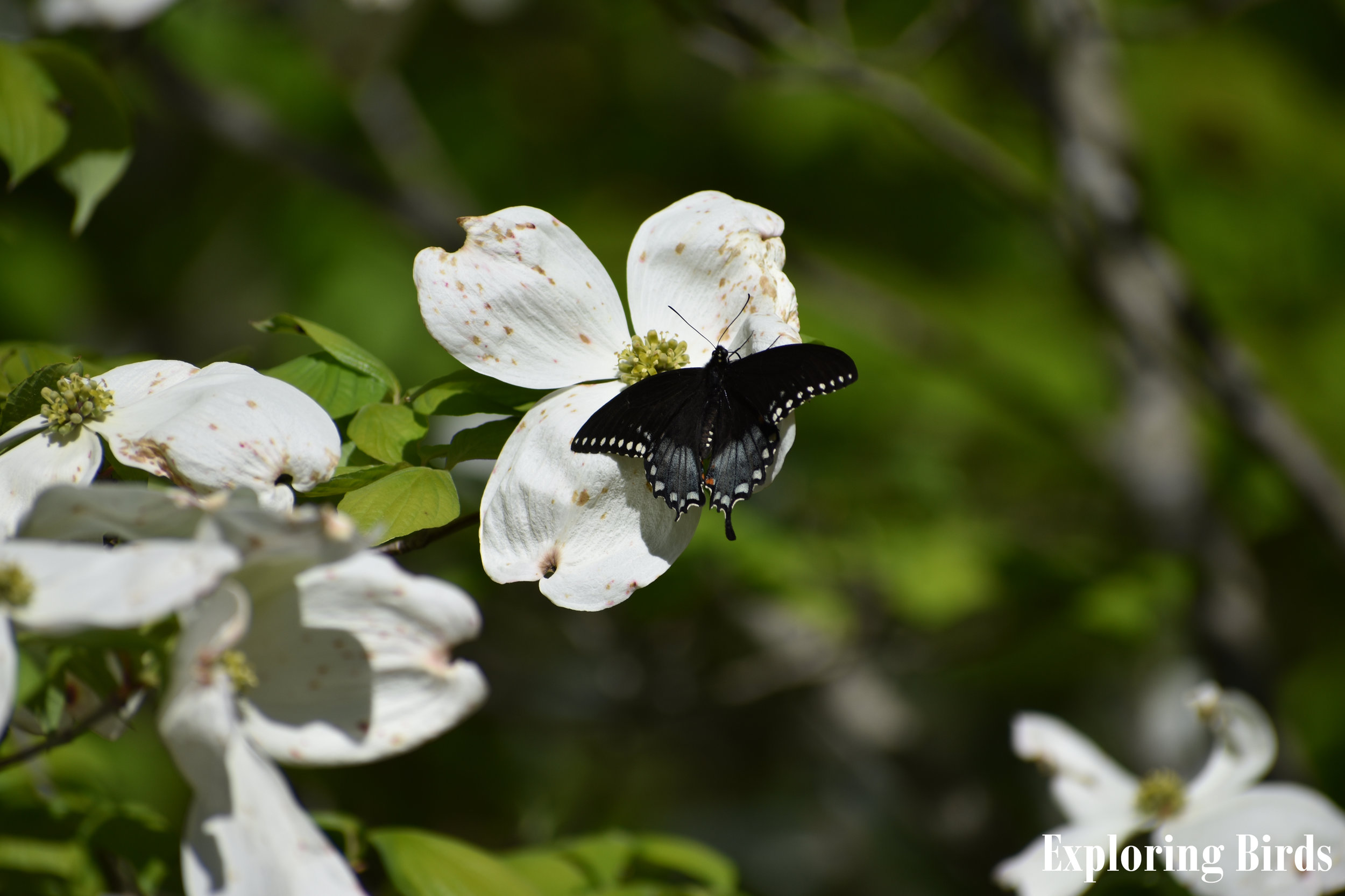Flowering Dogwood attracts butterflies