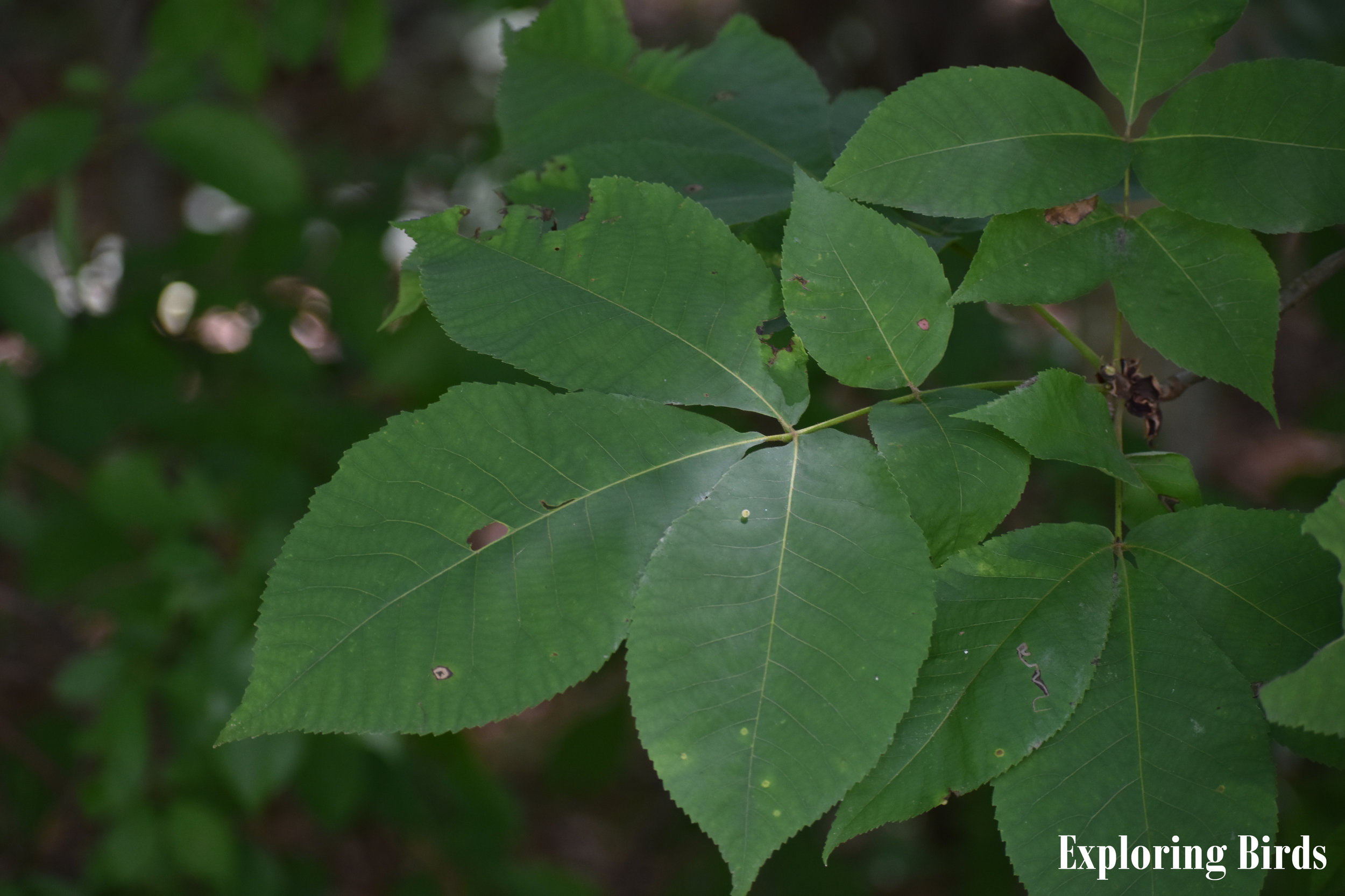 Pignut Hickory Identification