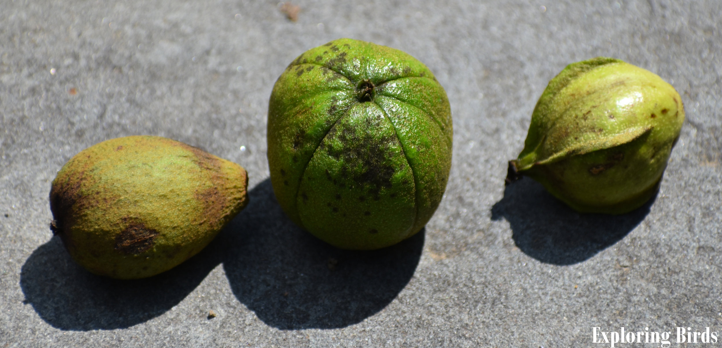 Hickory Nut Comparison: Pignut, Mockernut, Bitternut
