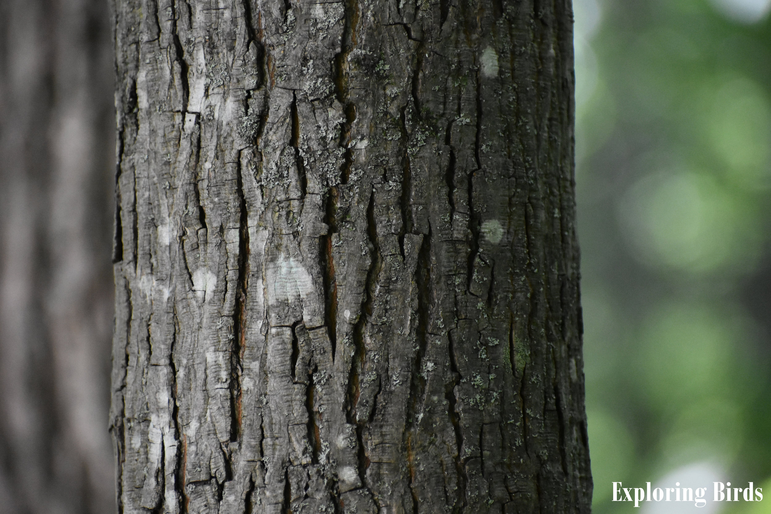 Pignut Hickory Bark Identification