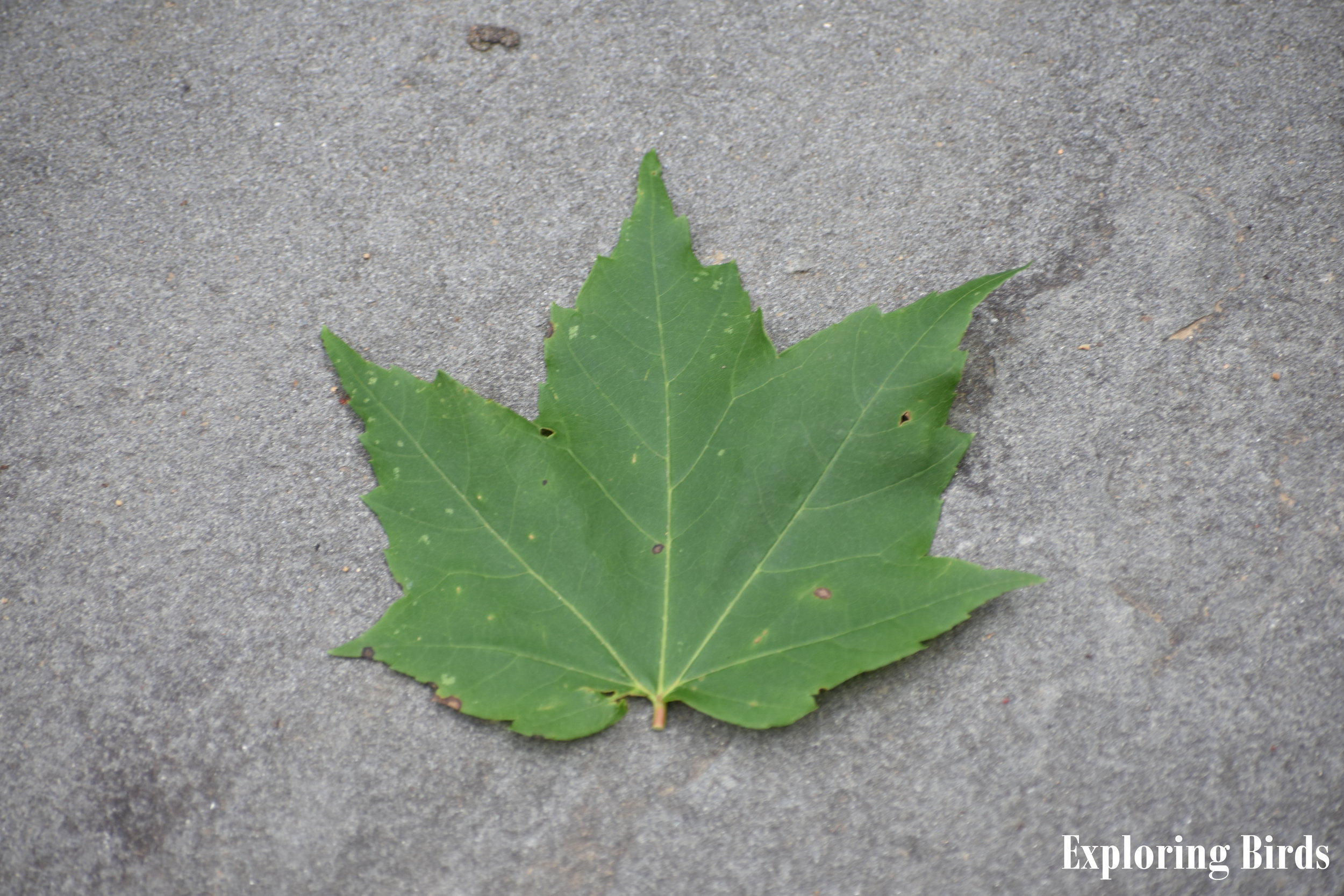 Red Maple Leaf Identification