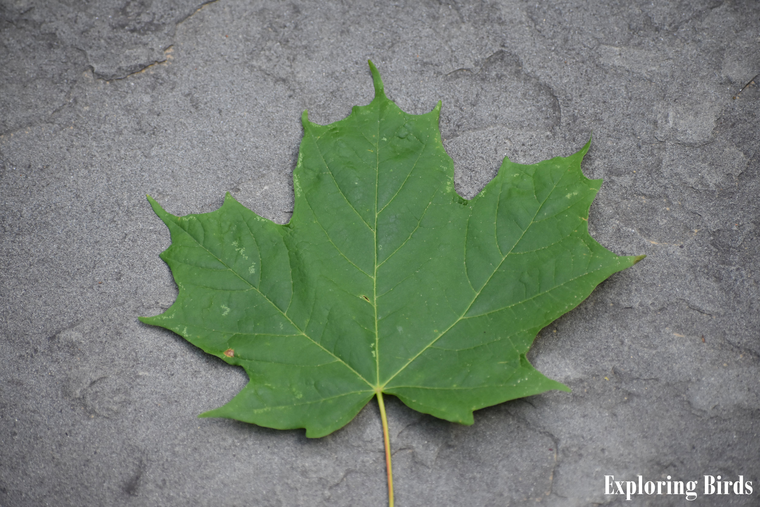 Sugar Maple Leaf Identification