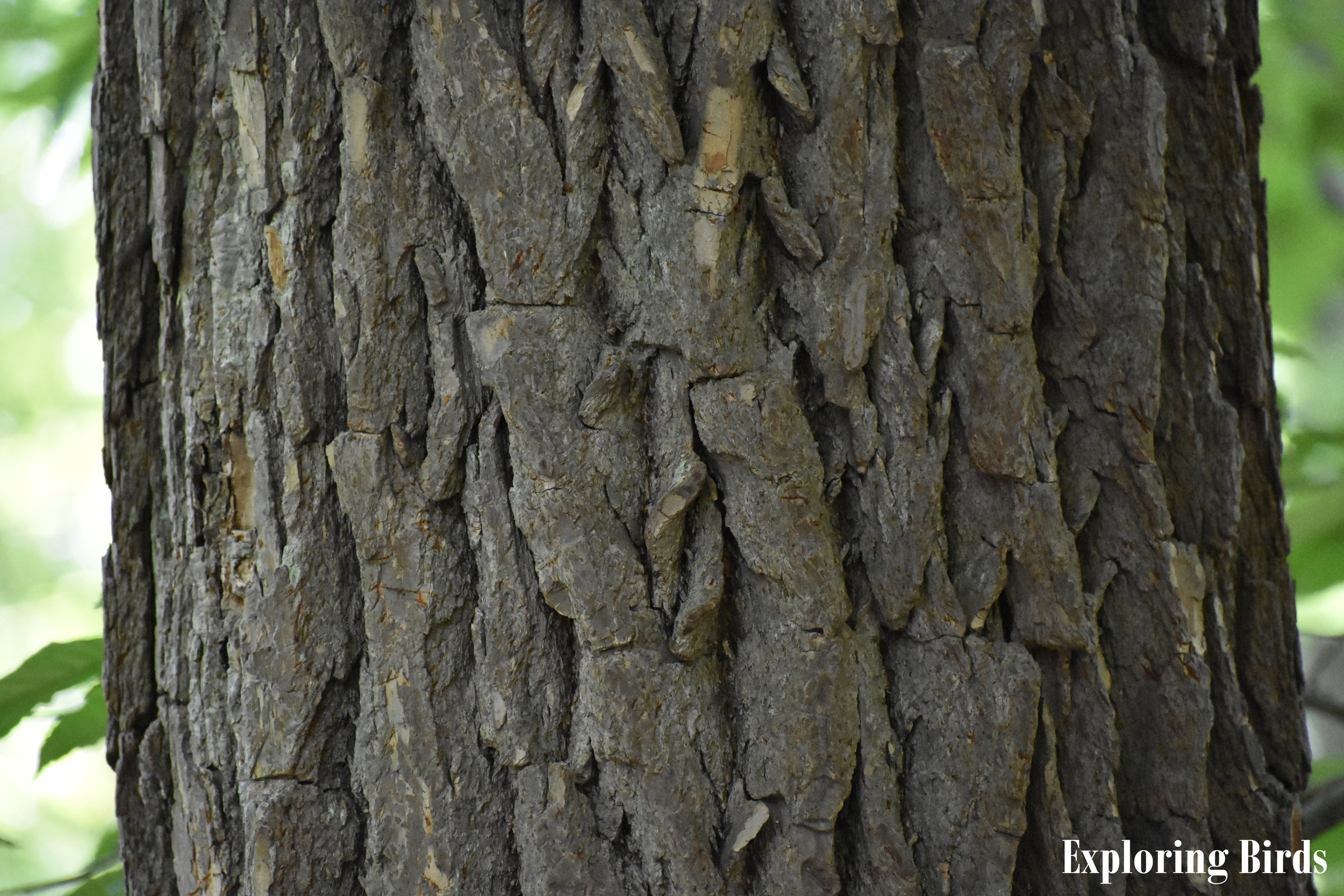 Sassafras Bark Identification