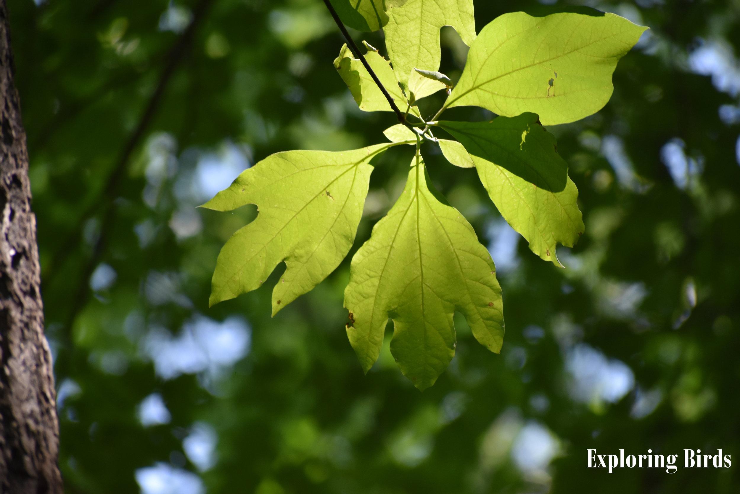 Sassafras Leaf Identification