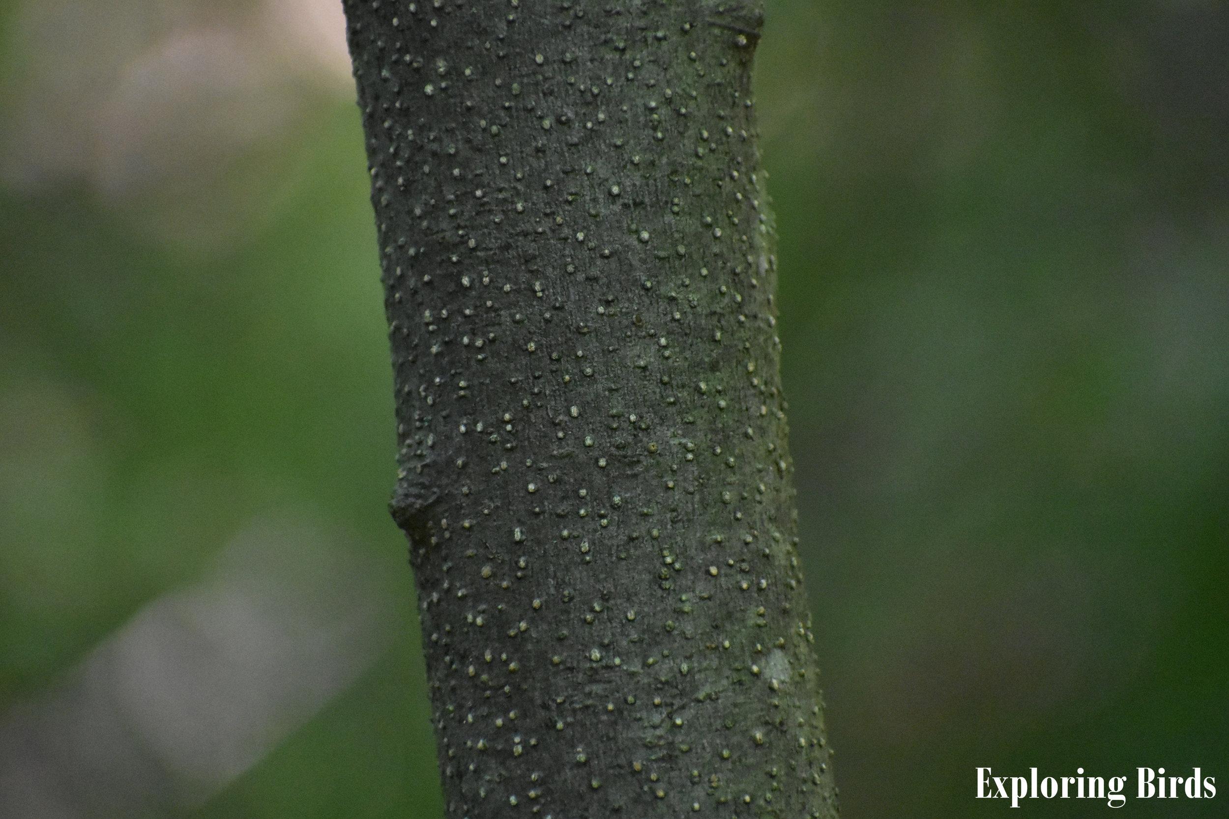Spicebush Bark Identification