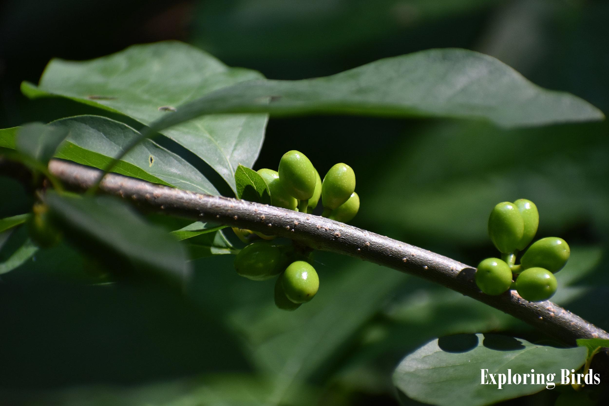 Spicebush berries (unripe)