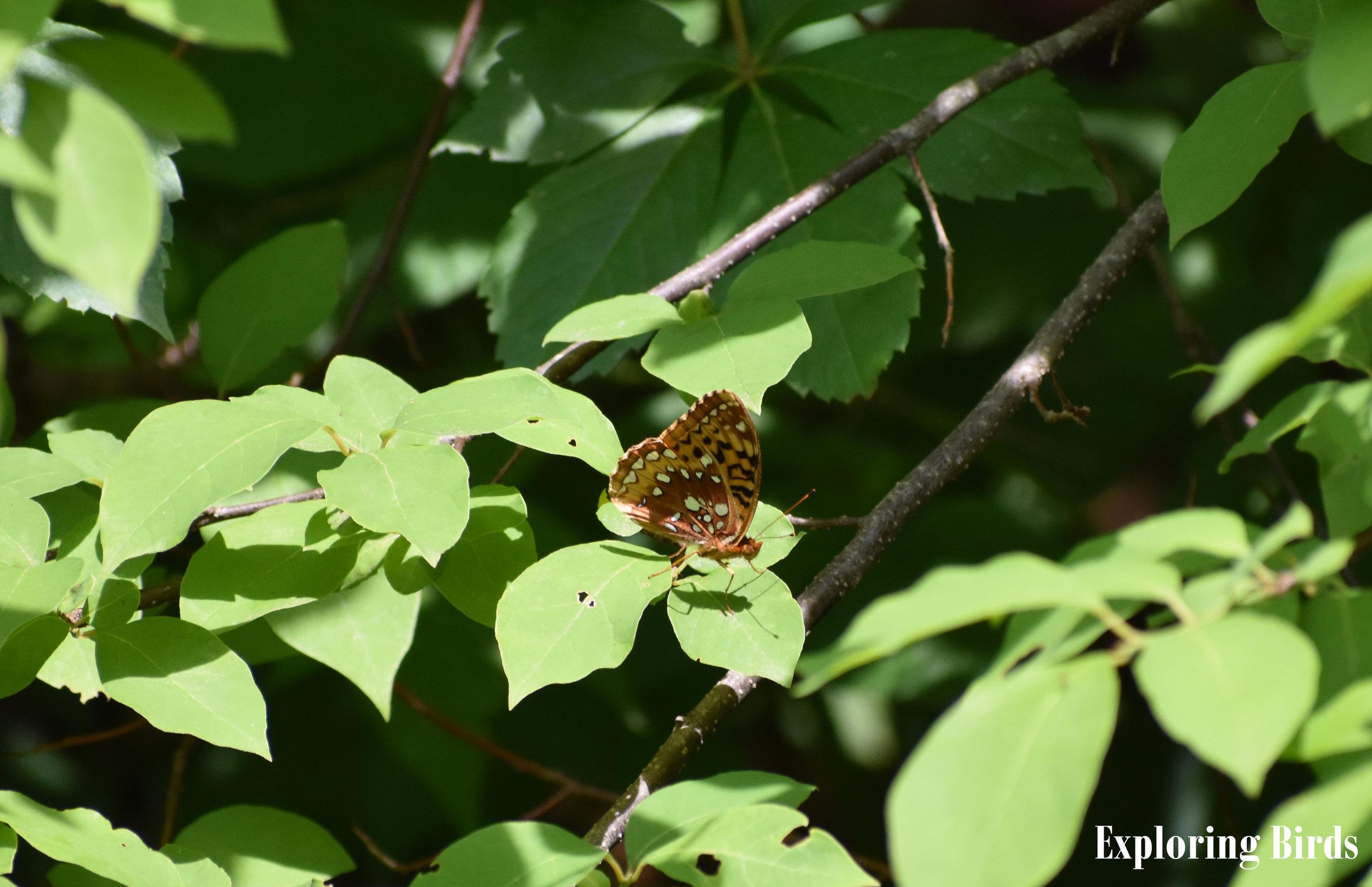 Butterfly on Spicebush