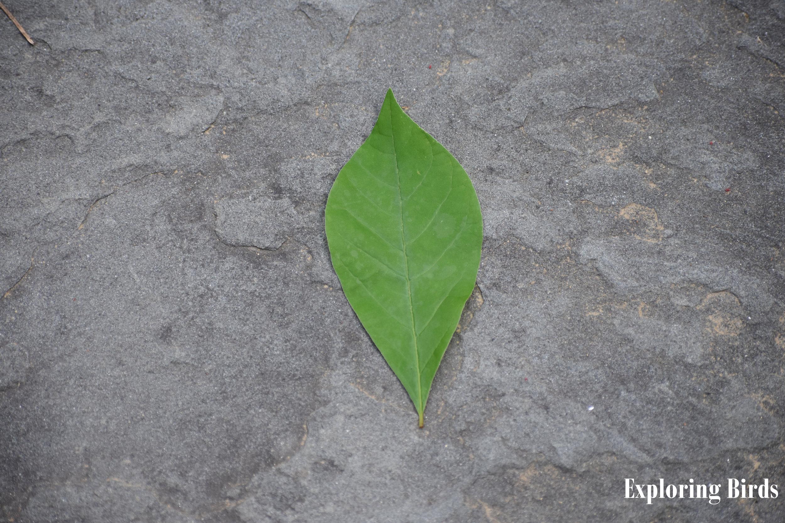Spicebush Leaf ID