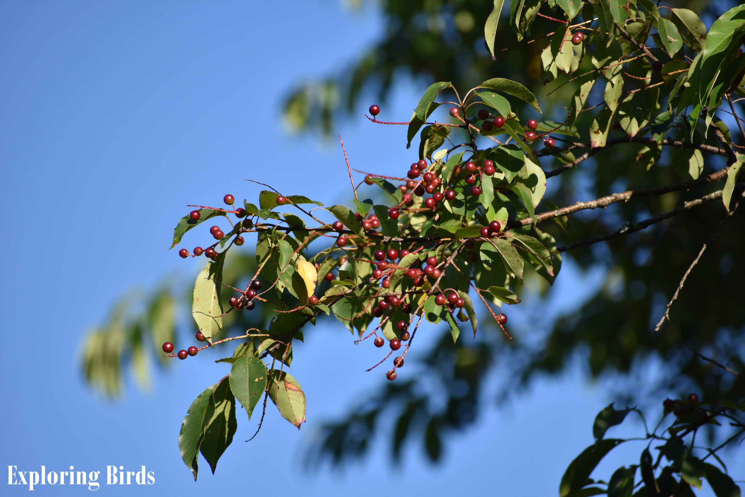 Wild Black Cherry is a tree that attracts birds