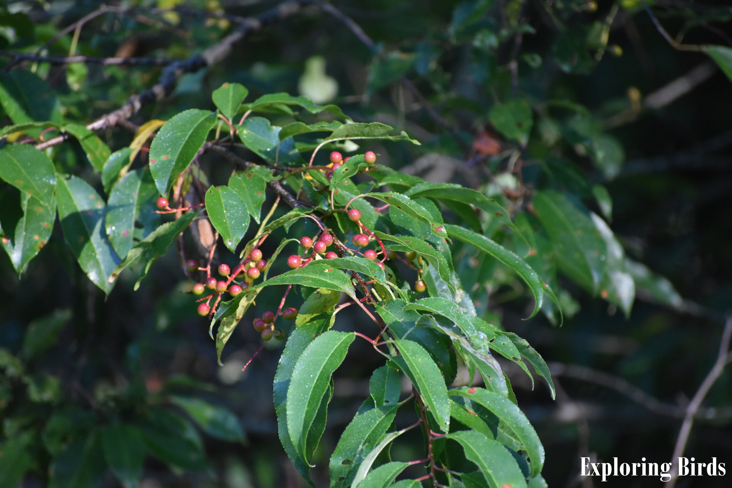 Wild Black Cherry produces cherries that are eaten by many birds