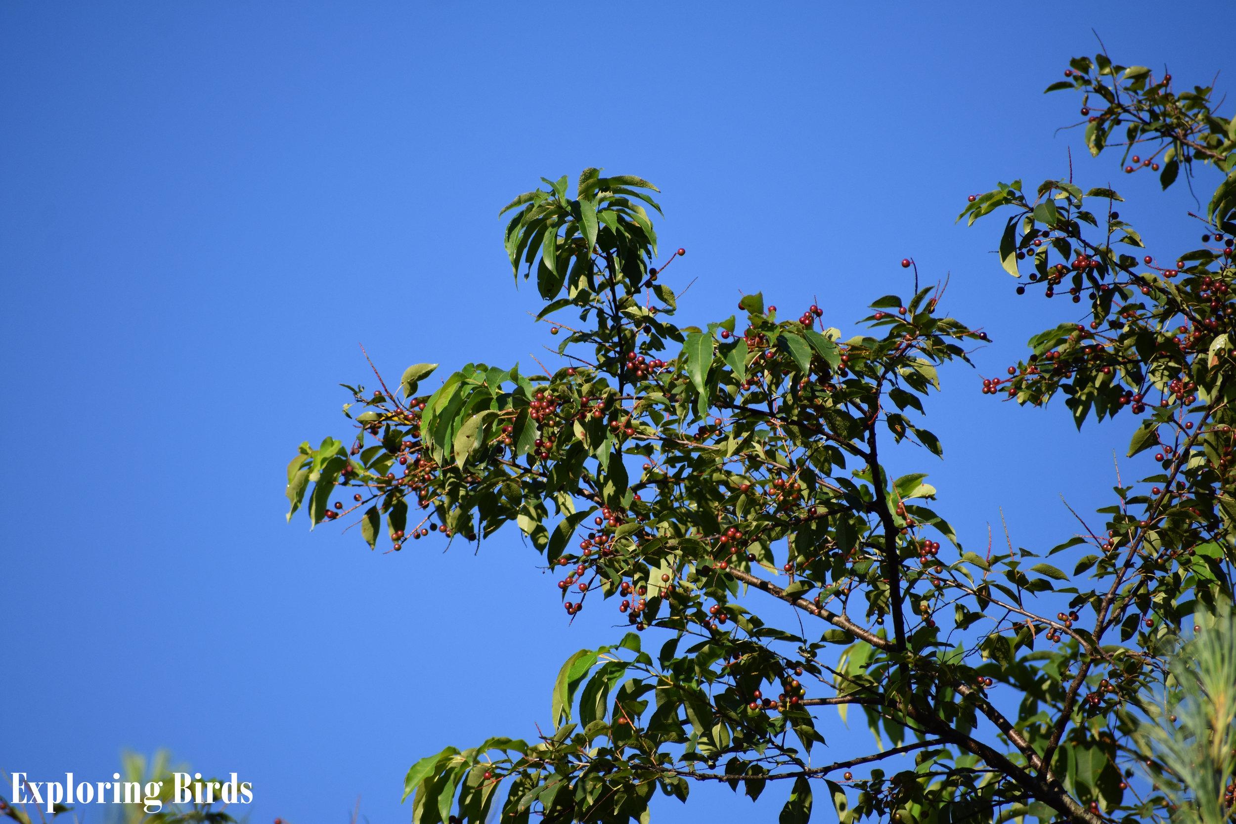 Wild Black Cherry attracts birds